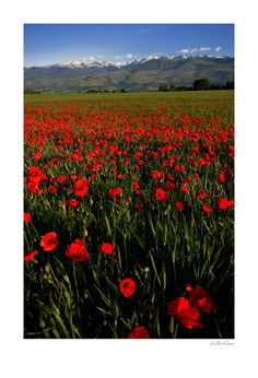 La Cerdanya en primavera- wish I'd been ale to take this pic- saw poppies like this on our last day in La Cerdanya.