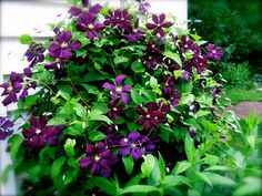 clematis...going to move so i can grow big big big!