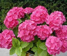 Imagens de flores Hortênsias