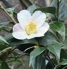 15 seeds Camellia sinensis 2015 harvest real tea-tree green- // black tea @ Asklepios-seeds tea-plant