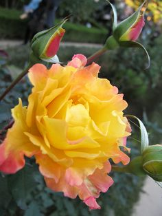 Yellow Rose with a touch of pink