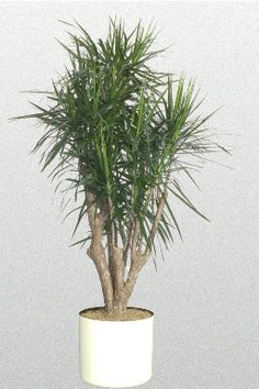 14 in  Dracaena  cincta