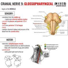 Nursing School Graduation, Nursing School Tips, Graduate School, Nursing Schools, Medical Students, Nursing Students, Cranial Nerves Mnemonic, Facial Nerve, Psychology