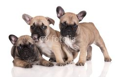 three french bulldog puppies on white