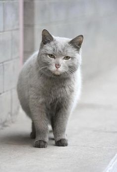 Grey Cats -- Sometimes Stout....