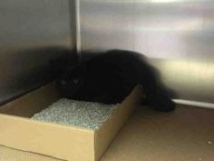***TO BE DESTROYED 07/17/16*** 12 WEEK OLD KITTEN SHOVED INTO CAGE WITH BAD PICTURE AND STUCK ON DEATH ROW! DOMINO is a lovely little girl with huge copper eyes-not that you can see them in a picture where she looks like a black spot on the metal wall. She is timid, and frightened and