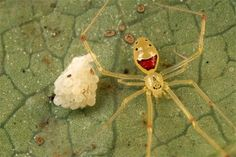 "Theridion grallator, also known as the ""happy face spider"".. Its Hawaiian name is nananana makakiʻi"