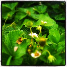 My strawberries are coming in