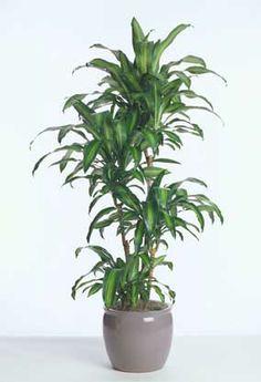 Dracaena Fragrans Massangeana: The Indoor Cane Corn Plant