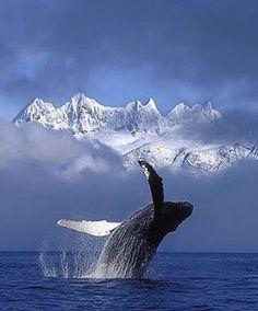 Humpback whale breaching - Alaska   Photo by © John Hyde  #naturegeography