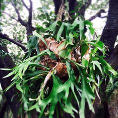 #solso #コウモリラン  #succulents #cactus #多肉#多肉植物#多肉バカ同盟 #containergarden #観葉植物 #ガーデニング #グリーンインテリア #gardening #園芸 #花 #花部 #フラワー#花のある生活#花のある暮らし #flower #flowers #flowerstagram #florist #floral #greenthumb #greenlife #plants#containergarden #botanical#ボタニカル succulents #cactus #多肉#多肉植物#多肉バカ同盟 #containergarden #観葉植物 #ガーデニング #グリーンインテリア #gardening #園芸 #花 #花部 #フラワー#花のある生活#花のある暮らし #flower #flowers #flowerstagram #florist #floral #greenthumb #greenlife #plants#containergarden #botanical#ボタニカル