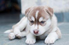 Filhotes de Husky Siberiano - Siberian Husky puppies.