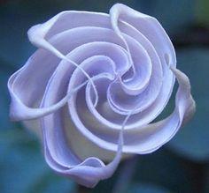 Heirloom 150 Seeds Blue Angel Trumpet Datura Rare Exotic Fragrant Night Flower