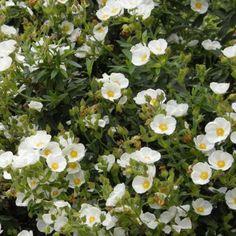 Un des meilleurs cistes couvre-sol LaCiste rampanteest un hybride de Cistus monspeliensis avec Cistus salvifolius 'Repens'. C'est un arbuste tapissant, très dense et mesurant 30cm de haut. Son feuillage est persistant, fin et vert sombre. La floraison printannière se montre en avril-mai et donne de nombreuses fleurs blanc pur.  Une exposition ensoleillée est préférable avec un sol ordinaire. LaCiste 'Repens' supporte tous les types de terrains. Elle est rustique jusqu&...