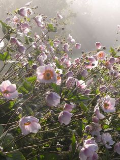 ~~Morning Mist • Japanese Anemone garden • by the incredible how~~