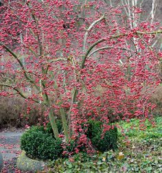 MALUS 'Red Sentinel' (Crab Apple Tree) - 1) Small tree, multi-stemmed shown 2) Likes any soil, even clay 3) White flowers in spring, red berries in fall through December+