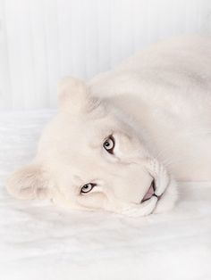 Beautiful white tiger