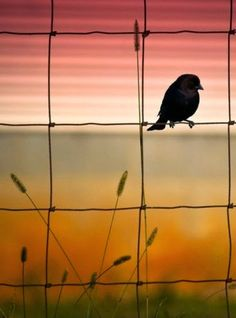 Bird on a pagewire fence at sunset