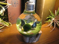 Marimo Aqua Garden Underwater Terrarium with by MIDNIGHTinSEATTLE, $28.00