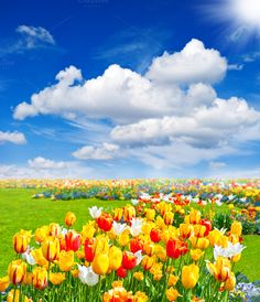Check out Tulip flowers field. Spring time by LiliGraphie on Creative Market