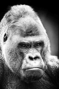 Silverback-blackwhite photoshot Project World Colors : Black #projectworldcolors