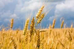 Picture of prairie wheat field with bright blue sky stock photo, images and stock photography.