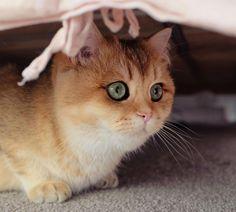 Meet Pumpkin, the Cutest Black Golden Ticked British Shorthair Cat (01.21.17)