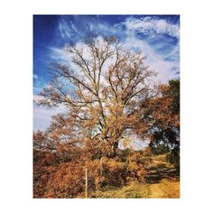 Camino del huerto #spain #madrid #majadahonda #huerteam #tree #encina #december #diciembre #ocre #amarillo #yellow #orange #naranja #sky #cielo #campo #country