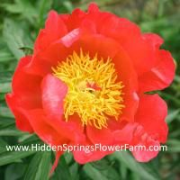 Bright Red Hybrid Peony Flame