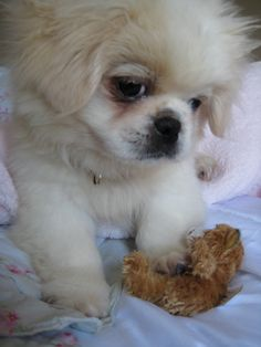 "Click visit site and Check out Best ""Pekingeses"" T-shirts. This website is outstanding.  Tip: You can search ""your name"" or ""your favorite shirts"" at search bar on the top."