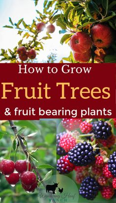 How to grow fruit trees for beginners. - Wandering Hoof Ranch : How to grow fruit trees for beginners. - Wandering Hoof Ranch How to grow fruit trees and fruit bearing plants for beginners with tips and tricks for planting, maintance and preserving Fruit Tree Garden, Planting Fruit Trees, Fruit Bushes, Growing Fruit Trees, Fruit Plants, Trees To Plant, Indoor Fruit Trees, Small Fruit Trees, Planting Plants