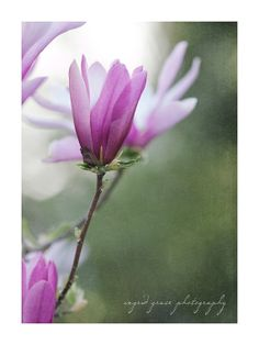 Spring Magnolia Photography Dreamy Purple Blossom Print