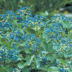 Viburnum dentatum. 'Christom' (Blue Muffin)