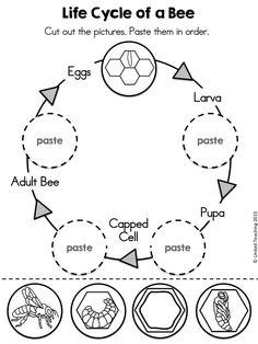 Life Cycle of a Bee Cut and Paste activity >> Part of the Insects No Prep Activities packet >> Includes life cycle worksheets for bees, ants, butterflies, and ladybugs.