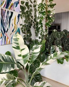 Let's not kid ourselves and admit we have all thought about seeking the dark web to find a variegated Monstera. Indoor Plants Online, Buy Plants Online, House Plants Decor, Plant Decor, Indoor Gardening Supplies, Iron Plant, Plant Aesthetic, Variegated Plants, Rare Plants