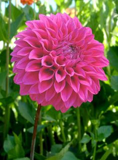 "Formby Kaitlin Dahlia (10"" bloom; 5' bush): formal decorative; purple."