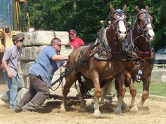 Draft Horse Pulling Competition and  that  man is  breaking  a rule  no touching  the  horses .