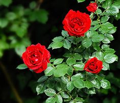 No garden would be complete without roses, though the beautiful flowers carry sad memories for Giacinta