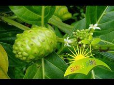 Herbal and Herb: Cách trị bệnh phong thấp tay chân bằng trái nhàu - Suc Khoe va Doi Song