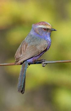 The White-browed Tit-warbler (Leptopoecile sophiae) is a species of bird in the Aegithalidae family. It is found in China, India, Kazakhstan, Nepal, Pakistan, Russia, Tajikistan, and Turkmenistan.