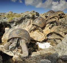 Photograph by @thomaspeschak Like miners these Aldabra giant tortoises line up single file and begin the climb underground. They are not after mineral riches but are desperately seeking shade and cooler temperatures. If not in the coral cave by late morning they will be cooked to death in their shells by Aldabra atoll's fierce sun. This incredible behavior was only recently discovered by biologists Dr. Dennis Hansen and Rich Baxter from the University of Zurich. Photographed on assignment…