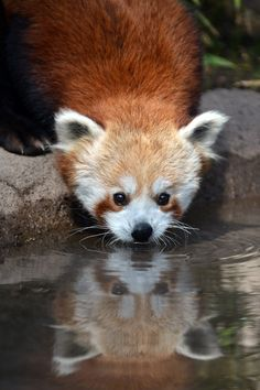 Red Panda (by Josh Norem)