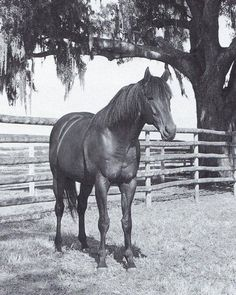 The legendary Dr Fager in retirement many years ago at Tartan Farms, I have many photos of my all time favorite horse and his trainer John Nerud