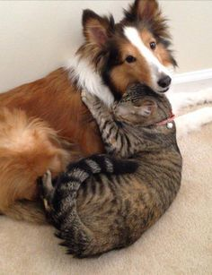 They don't always fight like cats and dogs! Take a look at these 18 pictures of cats caught loving dogs and you'll see what I mean. Animals And Pets, Baby Animals, Funny Animals, Cute Animals, Dog Best Friend, Dog Friends, Raining Cats And Dogs, Tier Fotos, Cat Love