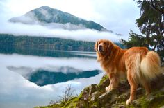 Lake, Lakes, Lake Dogs, Dog, Puppy, Mountain, Mountain Lakes, Mountain Dog, Golden Retriever, Golden Retriever Puppy, Washington, Pacific Northwest, PNW, Explore, Wanderlust, Adventure dog, Explore with Dogs, Hiking, Hiking with dogs, dog photography, photography, mountain photography, lake photography