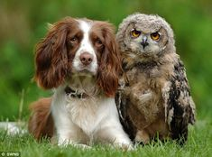 Sophie the Spaniel and Baby Eagle Owl Bramble are best friends. Click the link to read the full story.