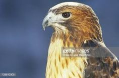 Image result for bird hawk