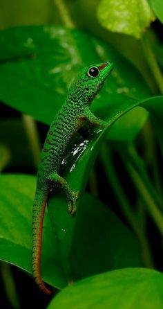 Phelsuma grandis | by mehelya on 500px
