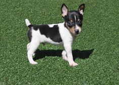 Toy Fox Terrier Puppies - so cute