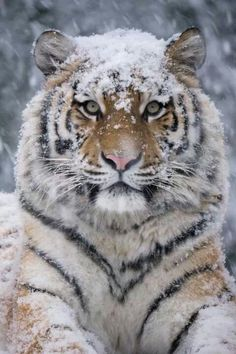Tiger with snowy head..makes it look sweet lol